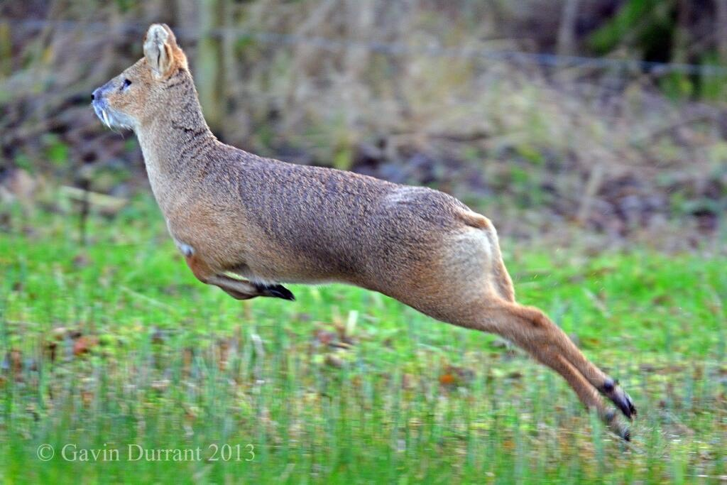 Image of a Chinese Water Deer jumping through a meadow